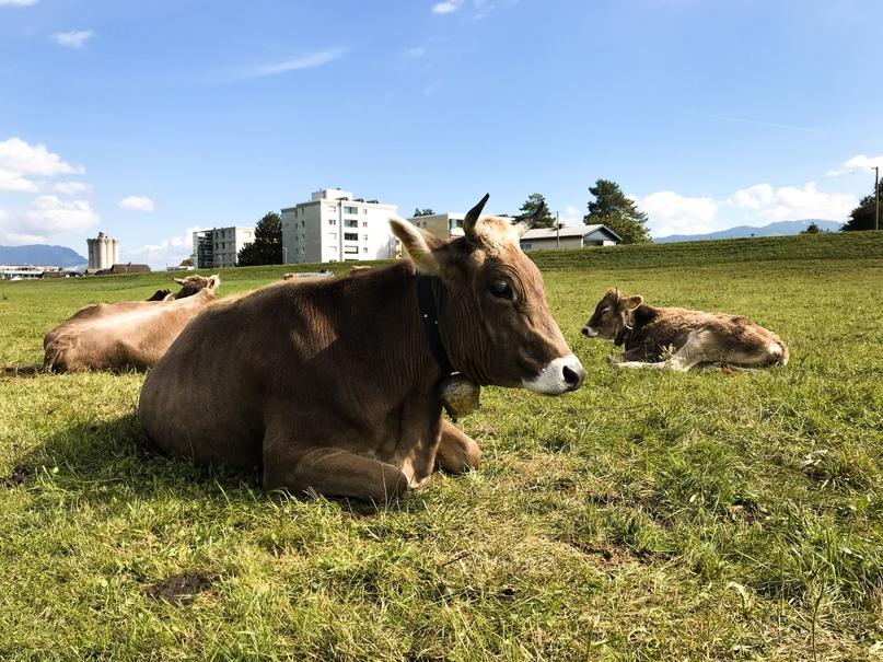Альпийские коровки с колокольчиками и бирками
