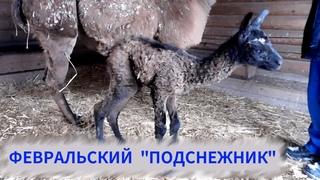 У наших лам родился малыш!