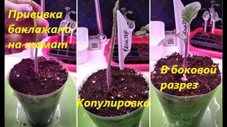 Прививка баклажана на томат в боковой разрез и копулировка_Eggplant grafting on tomato