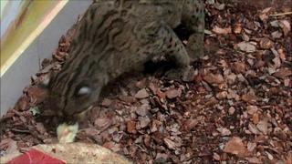 Мраморная кошка играет едой.  г.