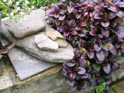 Аюга (живучка) Почвопокровное многолетнее растение аюга в народе называется живучкой. Впервые как декоративная культура она была показана на лондонской садоводческой выставке еще в 17 веке, и