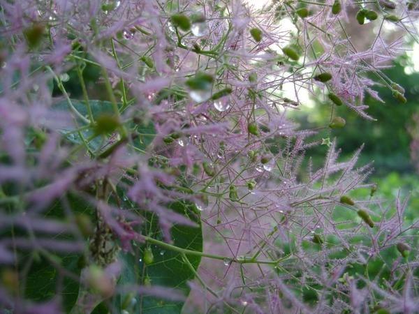Скумпия – очень оригинальное растение.