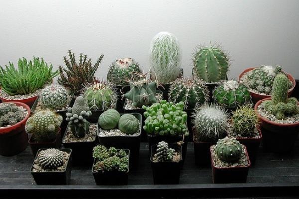 Фен-шуй и кактусы - можно ли держать колючие растения дома?