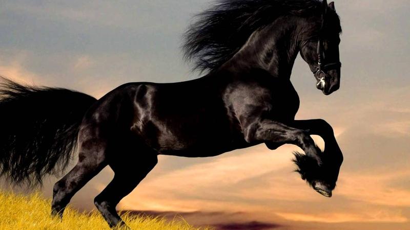Породы лошадей Фризская лошадь Характеристика
