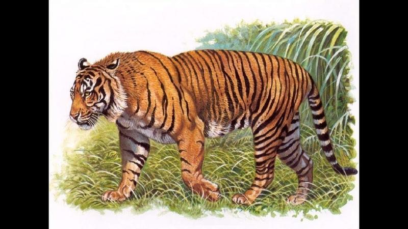 Живой или вымерший. Яванский тигр