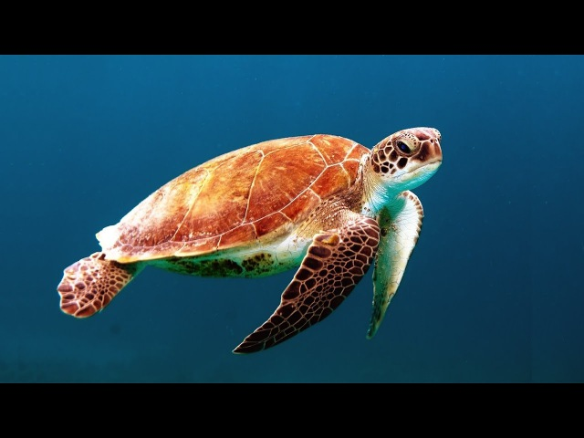 ★❤★ GIANT SEA TURTLES • CORAL REEF FISH • 12 HOURS • BEST RELAX MUSIC • 1080p HD ★❤★