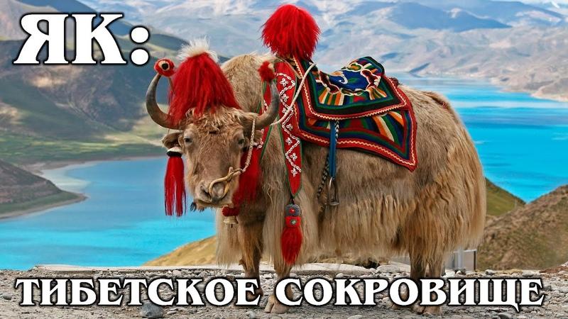 ЯК Хрюкающий бык главное животное Тибета Интересные Факты о яке и быках