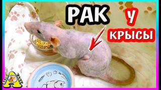 Спасение  крысы Плюши / Грустная История жизни маленькой крыски /  Alisa Easy Pets