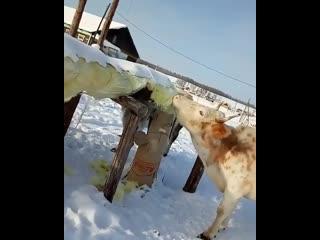 СРОЧНЫЕ НОВОСТИ! Коровы едят изоляцию труб