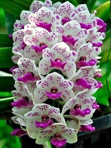 Невероятная орхидея