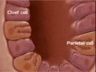 Строение слизистой желудка