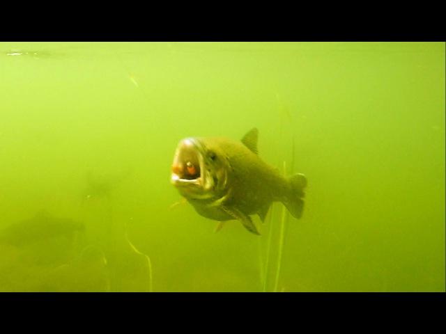 How to film trout attack softbait fishing lure underwater. Рыбалка форель атакует приманку.