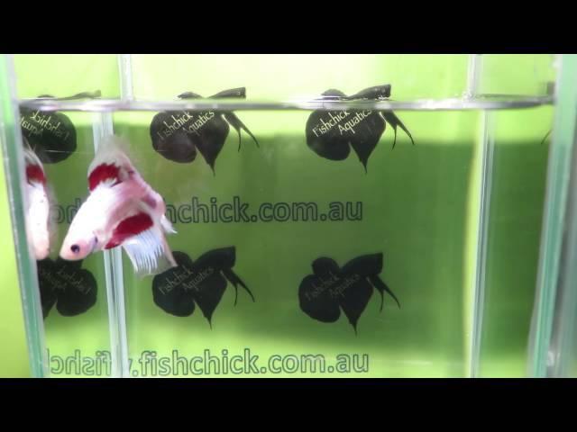 Fishchick Auctions Crystal Butterfly Halfmoon Male Betta (newlisting)