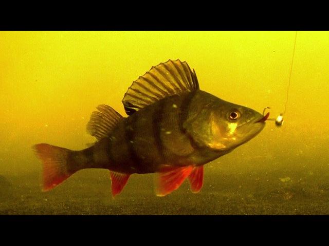 Perch fishing wt softbait deadbait underwater attacks p-7. Рыбалка ловля окуня подводная съёмка