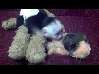 Capuchin meets baby marmoset monkey,4 sale, contact (@)