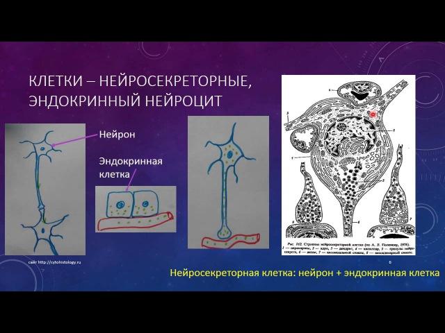 Эндокринная система 2 Гипоталамус
