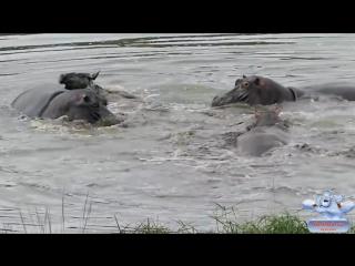 Гиппопотамы спасают антилопу от крокодилов! Невероятно!