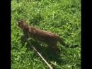 Питомник Wild World Of Mary бенгальский котенок мальчик в качестве шикарного домашнего любимчика