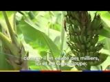Scandale sanitaire Les Antilles contamin