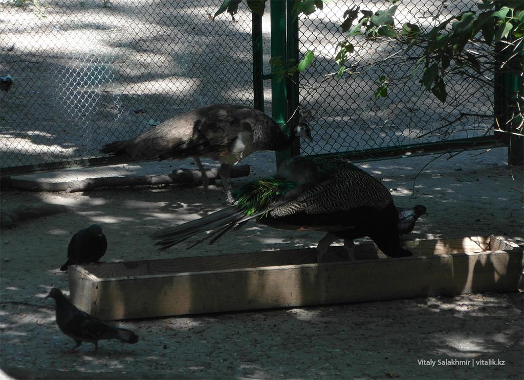 Павлин, зоопарк Алматы 2018