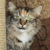 Питомник норвежских леных кошек Фурри-Неко