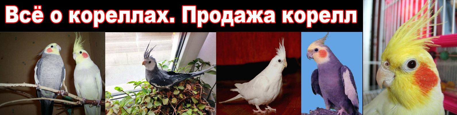 Продажа попугаев корелла