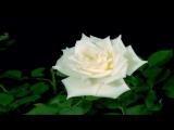Футаж Белая роза распускается