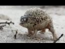 Боевой клич у пустынной дождевой лягушки