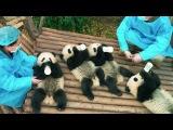 Панды - трейлер документального фильма [NR]