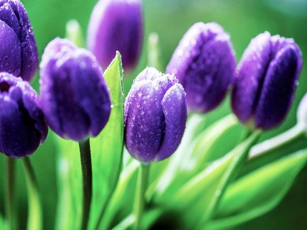 погода неделю фото сиреневых тюльпанов высокого разрешения что эти тексты