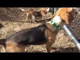 Skyview's Beagles Crazy Crazy Rabbit Runs Through Fence Northern WV Beagle Club