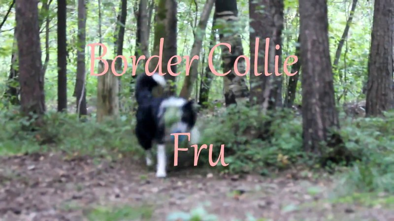Border Collie Fru SUMMER 2017