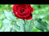 Цветы под музыку Виктор Лекарь - Эти розы для тебя. Picrolla.wmv