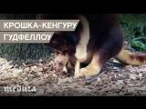 Крошка-кенгуру Гудфеллоу в сиднейском зоопарке