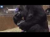 Precious moment gorilla kisses her baby seconds after birth_News Hashmi