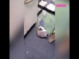 Голубь играет с котом
