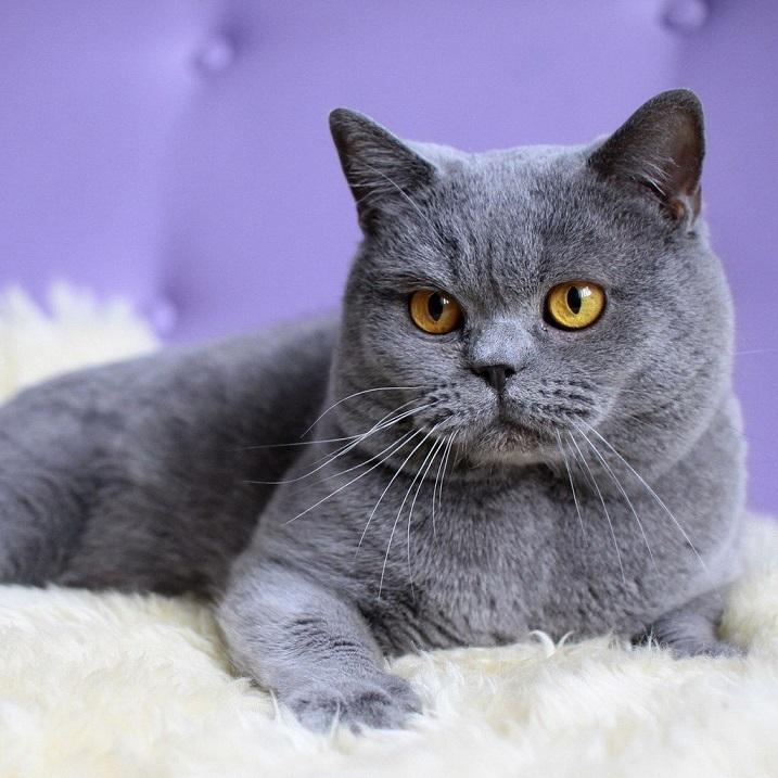 фото кошки британской породы