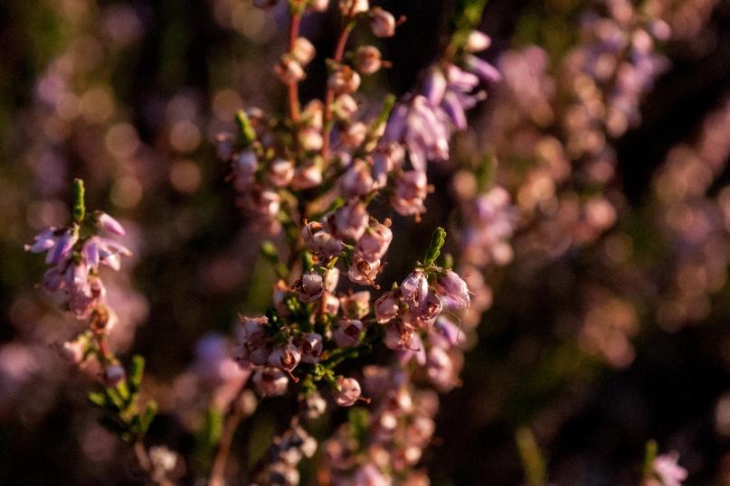 Борода святого Пантелеймона и еще 326 видов растений в Сольвычегодском заказнике., изображение №6