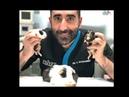 Рождение морских свинок: кесарево сечение