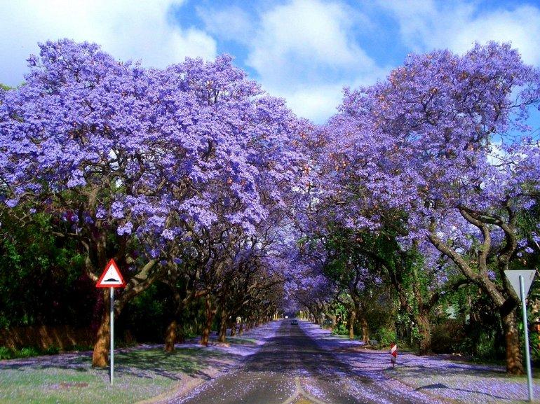 Цветение Жакаранды в Австралии, изображение №3