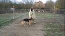 Охрана территории 3 / Немецкая овчарка Джигит 1,3г.