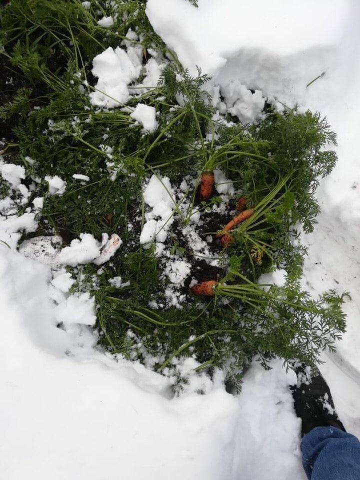 Вот так в Нерюнгри морковку собирают ❄️