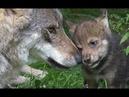 Мужчина подобрал в лесу одинокого волчонка и воспитал его Повзрослев волчица ушла обратно в лес…
