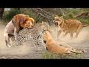 Động vật ngôn tình khi chúa sơn lâm giải cứu động vật - Lòng tốt của động vật thật đáng khâm phục