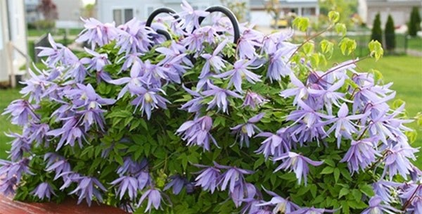 Княжик Княжик, достаточно популярное у нас в садах лазящее растение, которое неопытные садоводы часто путают с клематисом, так как обе кустарниковые лианы из семейства лютиковых. Не так много