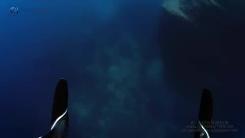 The Mantas in Socorro are special. They love interacting with divers. This one let me swim above it filming its graceful movemen