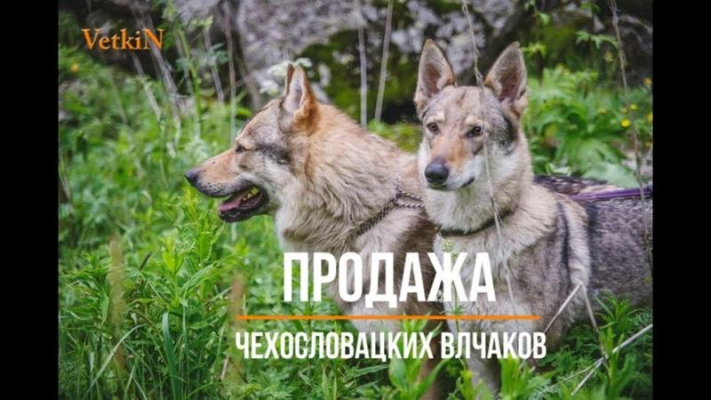 Продажа щенков породы Чехословацкий влчак в Казахстане