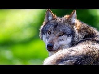 Инстинкт помог волку выжить – хищник, получив помощь, от лесника сам спас его в лесу