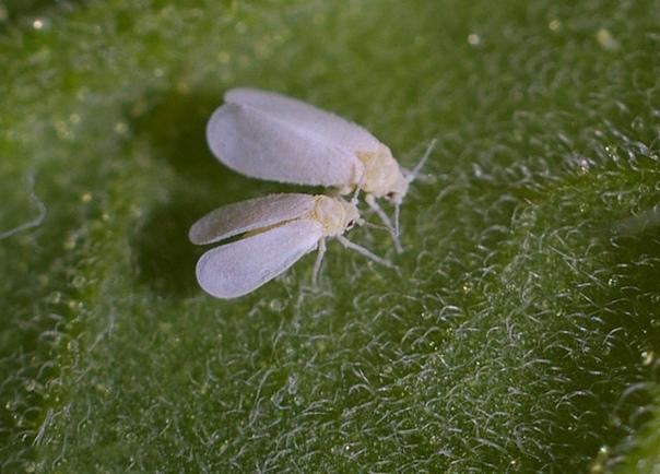 Белокрылка Чтобы избавиться от белокрылки, можно выбросить зараженные растения, укоренив здоровые и отмытые черенки под колпаком. В данном случае укрытие служит и защитой от бабочек. Второй