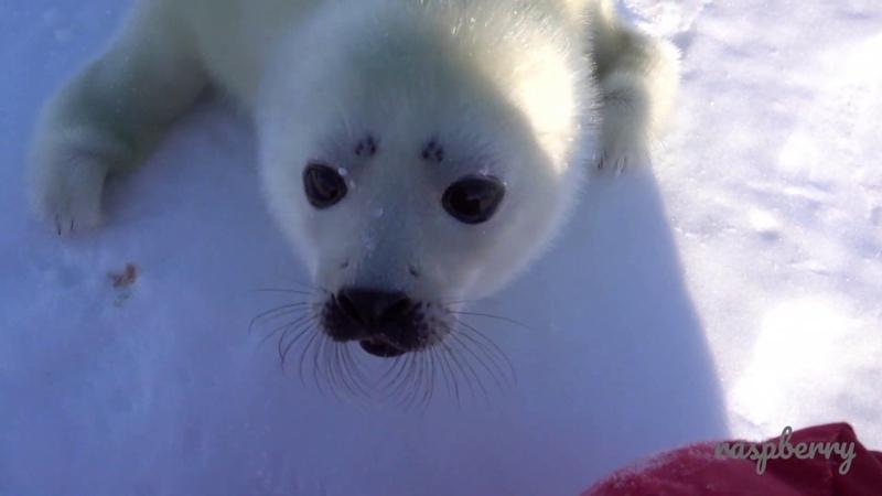 あざらしの赤ちゃん 接近 ☆harp seal baby